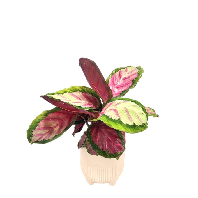 Calathea roseopicta Rosy, was für ein Name für diese rosafarbene Schönheit! Eine ganz besondere Pflanze holst du dir mit ihr nach Hause.
