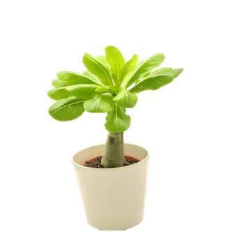 BRIGHAMIA HAWAIIAN PALM Cabbage on a Stick – ein sehr legerer Name für so eine seltene Schönheit, aber mit ihren vielen hellen Blättern am Kopf und dem nackten Stiel erinnert sie uns doch wirklich an einen Kohl. Anspruchsvoll und sehr begehrt präsentiert sich die Vulkan- oder Hawaiipalme - Brighamia, die eigentlich keine Palme, sondern ein Glockenblumengewächs ist. In ihrer Heimat ist sie vom Aussterben bedroht. Naturliebhaber bestäuben und vermehren diese Inselschönheit mühsam und erhalten sie so für uns. Die Vegetationszeit ist bei der Vulkanpflanze umgekehrt, sie wächst im Winter. Ihre frischen, hellgrünen Blätter werden im Sommer fast vollständig abgeworfen, das kann auch in ihrem neuen Zuhause passieren – lass dir aber davon keine grauen Haare wachsen, denn im Herbst und im Winter hat dein Prachtexemplar ihren großen Auftritt, wächst und gedeiht und du kannst dich an grauen Tagen sicher über große Blätter und hübsche, zartgelbe Blüten freuen. Hast du Kleinkinder oder Haustiere? Dann lieber nicht, Cabbage on a Stick ist leicht giftig. H2O – H2O – H2O Am besten gießt du kräftig, bis der Wurzelballen gut durchnässt ist. Oder du tauchst die Pflanze so lange in Wasser, bis keine Luftblasen mehr aufsteigen. Warte mit dem Gießen dann ca. zwei Wochen, bis die Erde gut abgetrocknet ist. Nasse Füße kann sie aber nicht leiden, überschüssiges Gießwasser musst du unbedingt entfernen, Gib ihr ein kleines monatliches Dünger-Goody mit Kakteendünger und besprühe sie hie und da mit Wasser – wir versprechen dir, sie wird dich lieben. LOCATION - LOCATION – LOCATION Die Hawaiipalme - Brighamia findet man nur auf Klippen und Felsen auf Hawaii. Stelle deine Insel Beauty an einen hellen Ort. Ist die Luftfeuchtigkeit dort auch etwas höher, ist es ein idealer Fleck für deine Brighamia. An vollen Sonnenschein musst du sie langsam gewöhnen. Und hat sie einmal ihr Stammplätzchen gefunden, dann lasse sie, wenn möglich, auch dort stehen. Jegliche Veränderungen mag die Vulkanpalme gar nicht. 