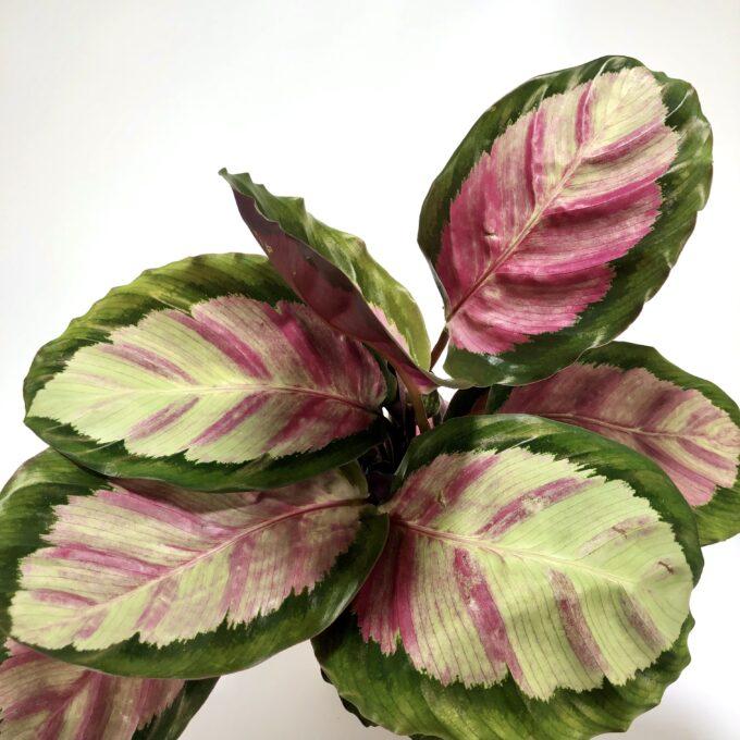 Rosy Noch ein Wunderblatt – was für ein Name für diese rosafarbene Schönheit! Eine ganz besondere Pflanze holst du dir mit ihr nach Hause. Die Calathea zeigt dir gerne, wo es lang geht. Sie schließt ihre dekorativen Blätter mit einem sanften Knistern, wenn es Zeit ist, schlafen zu gehen und wacht in der Früh mit dir wieder auf. Ist das nicht süß? Es gibt viele verschiedene Arten von diesem Ingwergewächs, alle zeigen dir die unterschiedlichsten Blattformen und Farben. Ob Grün oder Lila, auch an den vielfältigen Zeichnungen an der Oberseite der Blätter kann man sich gar nicht satt sehen. Schau also öfter in unserem Shop vorbei und hole dir immer neue Arten nach Hause. Sie produziert viel Sauerstoff, als aktiver Luftverbesser ist diese originelle Pflanze ein Hit! Hast du Kleinkinder oder Haustiere? Dann ist die Korbmarante die richtige Pflanze für dich, sie ist nicht giftig.